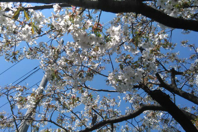飯田橋駅周辺の桜満開