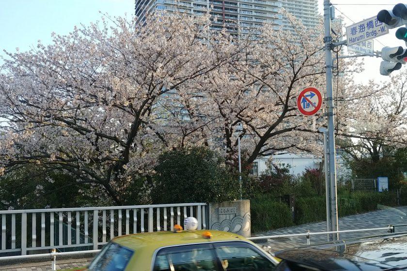 都内は桜が満開