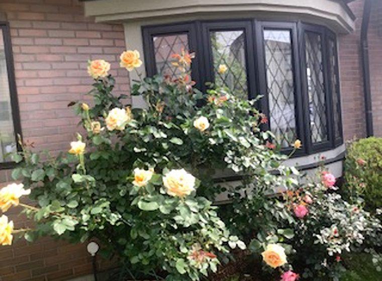 事務所前のバラの花が満開。